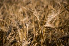 Grani del grano Fotografia Stock