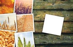 Grani del grano che coltivano in collage della foto di agricoltura Fotografia Stock