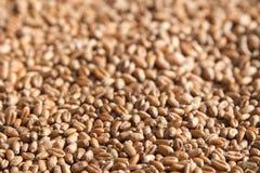 Grani del grano come struttura del fondo dell'alimento o del raccolto con la stazione termale della copia Immagine Stock