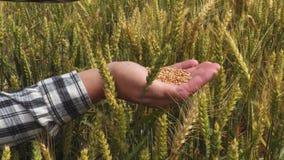 Grani del grano in mani