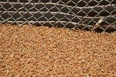 Grani del grano sulla griglia del silo Fotografia Stock