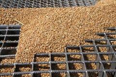 Grani del grano sulla griglia del silo Immagine Stock