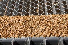 Grani del grano sulla griglia del silo Fotografia Stock Libera da Diritti
