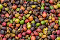 Grani del primo piano maturo del caffè La Tanzania Piantagione di caffè Fotografia Stock