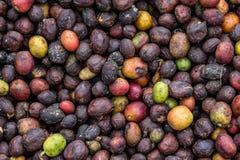 Grani del primo piano maturo del caffè La Tanzania Piantagione di caffè Fotografia Stock Libera da Diritti