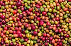 Grani del primo piano maturo del caffè La Tanzania Piantagione di caffè Immagini Stock