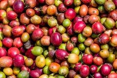 Grani del primo piano maturo del caffè La Tanzania Piantagione di caffè Immagine Stock Libera da Diritti