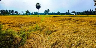 Grani del riso fotografie stock