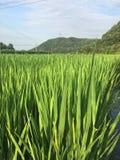 Grani del riso nei campi Immagine Stock
