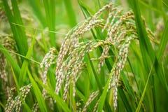 Grani del riso, primo piano medio immagini stock