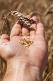 Grani di grano Fotografia Stock Libera da Diritti