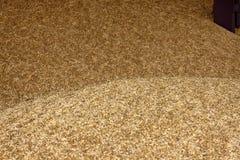 Grani di grano nell'immagine di struttura di agricoltura di vista del primo piano Immagine Stock