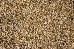Grani di grano nell'immagine di struttura di agricoltura di vista del primo piano Fotografia Stock Libera da Diritti