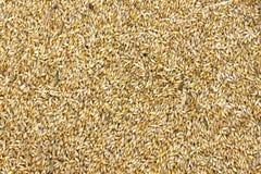 Grani di grano nell'immagine di struttura di agricoltura di vista del primo piano Fotografie Stock Libere da Diritti