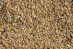 Grani di grano nell'immagine di struttura di agricoltura di vista del primo piano Fotografia Stock