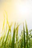 Grani di riso nei campi Fotografia Stock Libera da Diritti