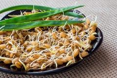 Grani germinati di grano, alimento sano, stimolazione dell'arco immagine stock