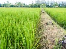 Grani i ryż gospodarstwo rolne Obrazy Royalty Free