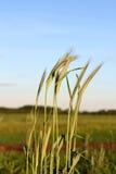 Grani segale, campo con i cereali Fotografie Stock Libere da Diritti