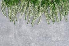 Granica biały pospolity wrzos na szarość betonuje tło kopia zdjęcia stock
