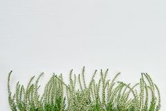 Granica biali pospolici wrzosów flawers na białym tle kopia fotografia royalty free