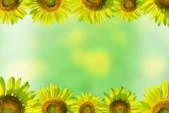Granica z słonecznikami Na zielonym tle Obrazy Royalty Free