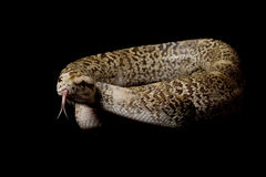 Granit Burmese python Royalty Free Stock Photography
