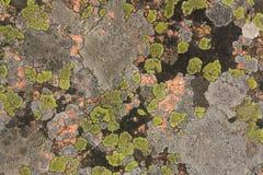 Granit som täckas med den färgrika laven Royaltyfri Bild