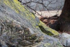 Granit vaggar med laver i en skog Arkivbilder