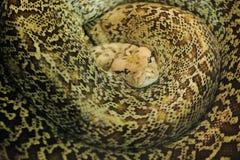 Granite burmese python Stock Photography