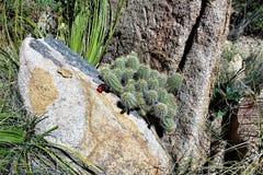 Granite Dells. Plant life at Granite Dells trails in Prescott, Arizona Stock Photo