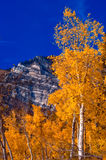Granite Quakies. In Utah's Wastach National Forest, these quaking aspen trees turn autumn gold while the granite cliffs of the mountain stand ever fast Royalty Free Stock Photography