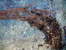 Granite Rock, Pine Needles, Lichen Royalty Free Stock Photography