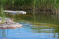 Granite rocks and aquatic grass Royalty Free Stock Image
