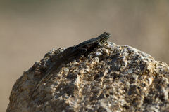 Granite Spiny Lizard, Sceloporus orcutti Stock Images