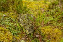 Granite stone with various types of moss in the Karelian forest. Grass and juniper surround the rock royalty free stock photo