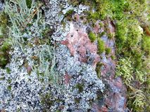 Granito avermelhado coberto de vegetação com o líquene e o musgo em uma textura colorida do close-up, fundo Fotos de Stock
