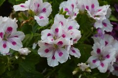 Pelargonium Zonale White-Pink. Granium Pelargonium Zonale White-Pink garden white flowers white with pink eyes and green or white buds and green leaves stock image