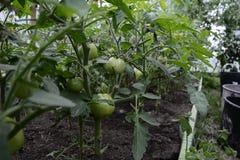 Granja agrícola del tomate en un invernadero moderno con los tomates verdes fotografía de archivo libre de regalías
