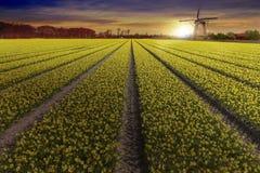 Granja amarilla del bulbo del narciso en Lisse y la ciudad del holandés de Hilligome Imagen de archivo
