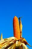Granja asombrosa del maíz en Baanrai Utaithani Tailandia Foto de archivo libre de regalías