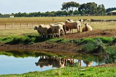 Granja australiana de las ovejas Fotos de archivo