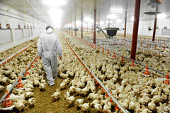 Granja avícola y un veterinario Foto de archivo