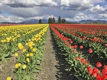Granja con los tulipanes amarillos y rojos Imágenes de archivo libres de regalías