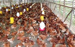 Granja con por completo del pollo Imagenes de archivo