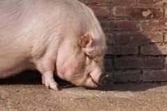 Granja de cerdo Foto de archivo libre de regalías