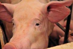 Granja de cerdo Imágenes de archivo libres de regalías