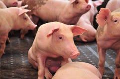 Granja de cerdo Fotos de archivo libres de regalías
