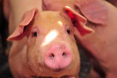 Granja de cerdo imagen de archivo libre de regalías