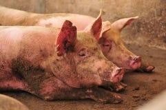 Granja de cerdo Imagen de archivo